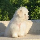 How to Remove Fleas From a Bichon With a Flea Comb