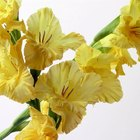 Cómo cultivar bulbos de gladiolo en interiores