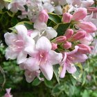 When to Prune Weigela