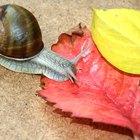 Tempo de vida de um caracol de jardim