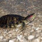 Cómo crear un acuario para tortugas