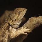 Cómo sé si mi dragón barbudo bebé es macho o hembra