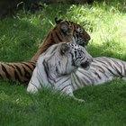Cómo salvar a los tigres en peligro de extinción