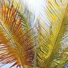 ¿Por qué las hojas de palma se vuelven amarillas?