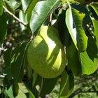 Como plantar uma semente de pera
