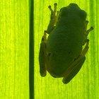 El hábitat de la rana arborícola tropical