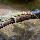 Como usar bórax para livrar-se de lagartos