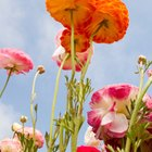 When to plant ranunculus