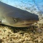 Cómo comprar tiburones para un acuario en casa