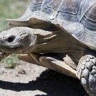 Como identificar a espécie de uma tartaruga