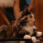How to Care for Dry Skin on Maine Coon Cats