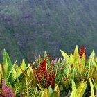 En la planta tropical crotón ¿por qué las hojas comienzan a secarse y se caen de la planta?