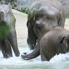 ¿Cómo copulan los elefantes?