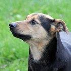 Enfermedades de los perros y una nariz caliente