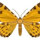Quais as causas para haver mariposas em sua casa?
