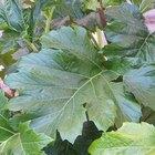 Tropical Large-Leaf Plants
