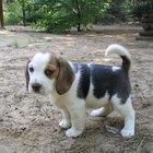 Boas características dos beagles macho e fêmea