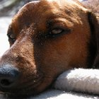 Home remedies for ear hematomas in dogs