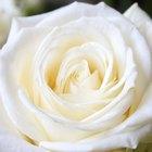 ¿Qué representa una rosa blanca?