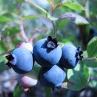How to treat blueberry bushes with spots on them