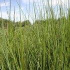 Como plantar o trigo sarraceno