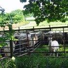 Cómo administrar una granja de ovejas