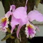 ¿Qué hacer con una orquídea después de que las flores se caen?