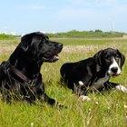 Infecciones de los gánglios linfáticos en perros