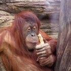 Como um macaco se adapta ao ambiente?