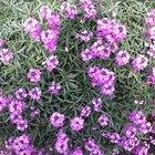 Lista de nombres de algunas flores perennes hermosas