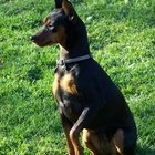Differences between Manchester Terrier & Miniature Pinscher