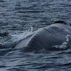 Sobre el ciclo vital de la ballena azul