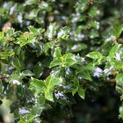 How to care for a myrtle shrub