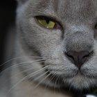 Burmese Cats & Their Traits
