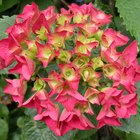 Como cuidar de uma hortênsia depois que as flores murcham