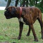 Colitis en perros