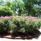 Ejemplos de plantas de arbustos