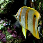 How to Care for Your Longnose Butterflyfish
