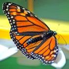 Qual a diferença entre a borboleta monarca macho e fêmea