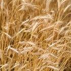 Diferencias entre el grano de trigo entero y el salvado de trigo