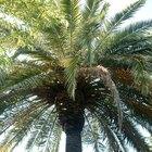 Tipos de palmeras tropicales