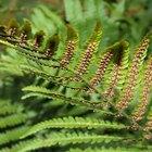Are ferns homosporous or heterosporous?