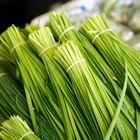 Plantas de cebollino chino