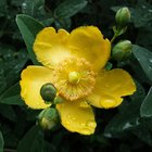 How to Grow Hypericum