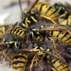 How to Kill Wasp Nests in a Concrete Foundation