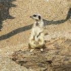 How to make a meerkat diorama