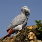 How to determine the age of african greys