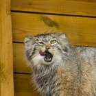 How to Buy a Bobcat Animal