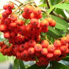 How to plant a rowan tree