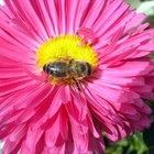Cómo las abejas polinizan las flores